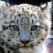 La vojaĝema leopardido